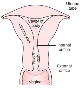 Uterus Illustration
